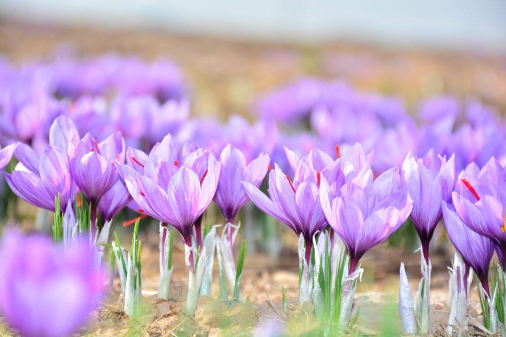 Květy šafránu, rozvité a hledající slunce.