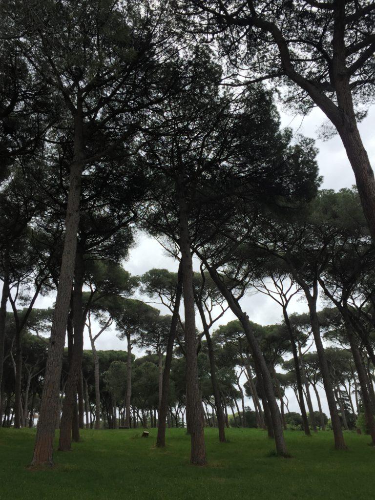 Borovice přímořské, které rostou v mnoha římských parcích.