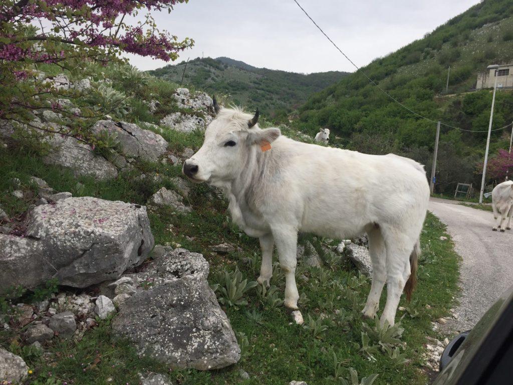 Volně se pasoucí bílé kravičky v oblasti střední Itálie.