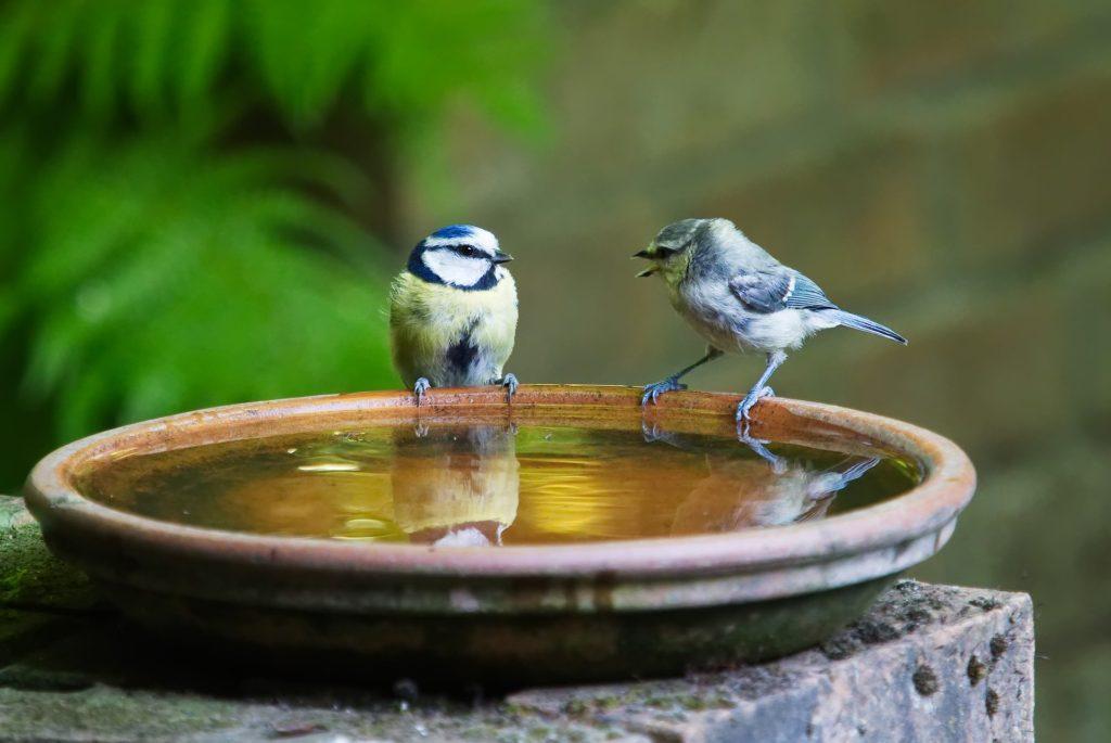 dvě sýkorky, které si povídají u misky s vodou