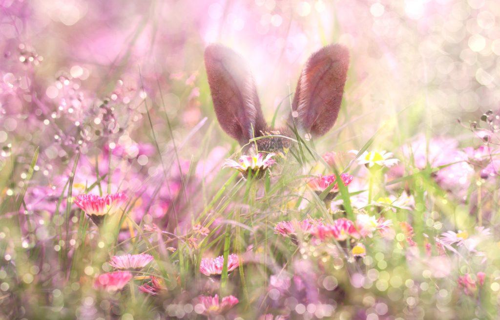 Zaječí uši, vykukující mezi trávou a růžovými květy
