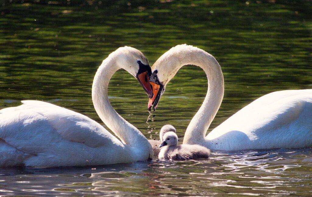 Labutí rodinka na vodě.