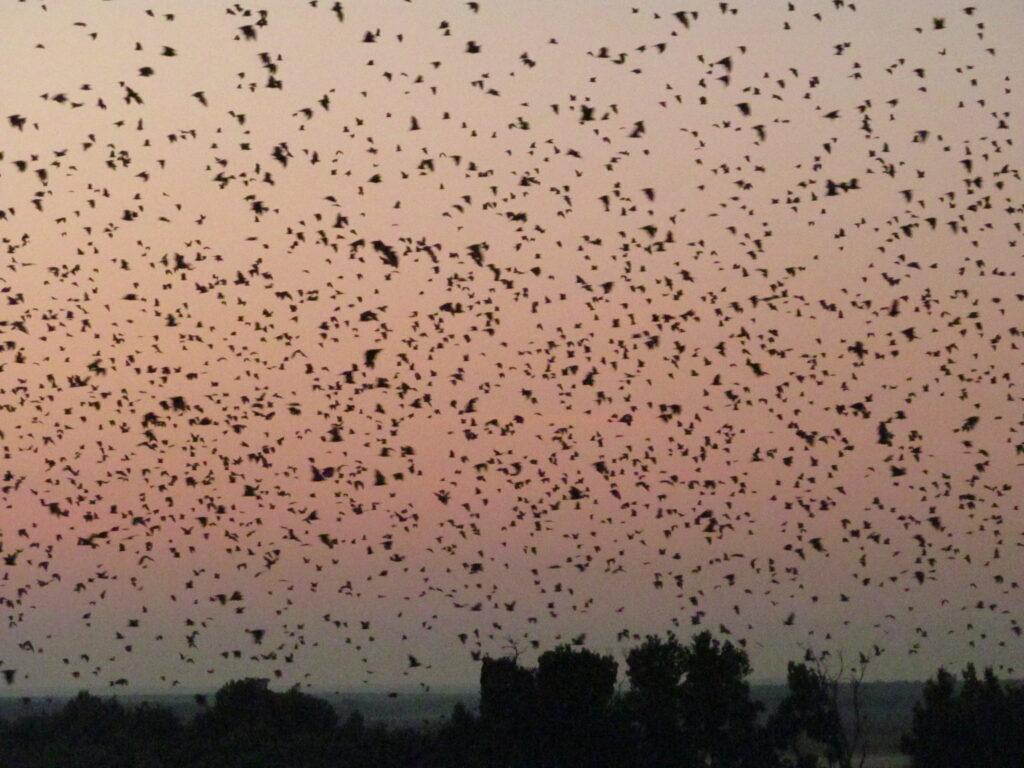 Tisíce letících kaloňů na oranžově zbarveném ranním nebi.