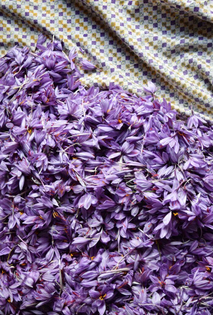 Rozložené sesbírané květy šafránu na fialovobílé podložce.
