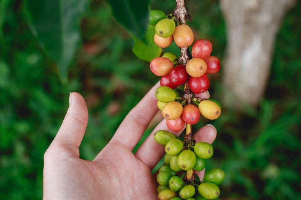 nezralé kávové třešně na ruce